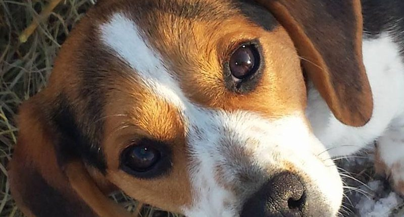 Diamond G Ranch - Pocket Beagle