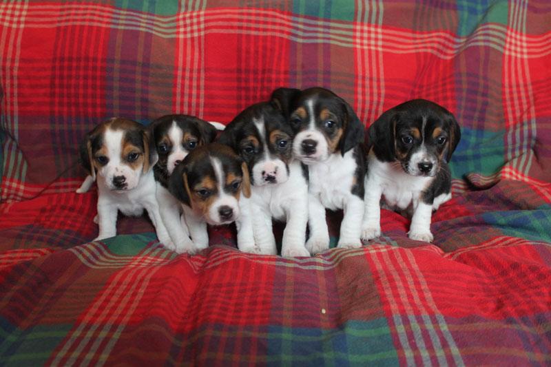 Diamond G Ranch Pocket Beagles