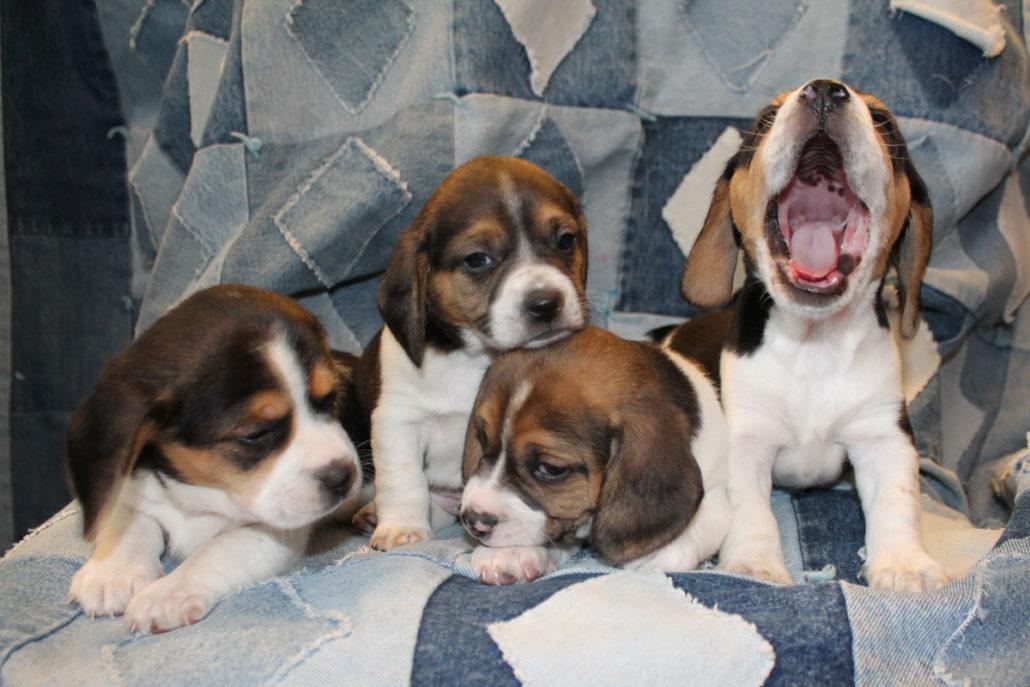 Diamond G Ranch Pocket Beagles And Canadian Horses