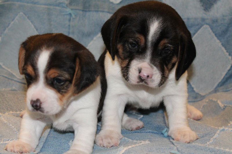 Diamond G Ranch Pocket Beagle