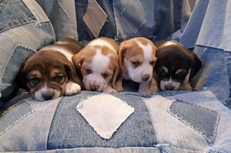 Pocket Beagles